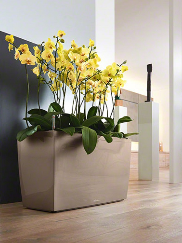 addi_cararo_tp_phalaenopsis_large