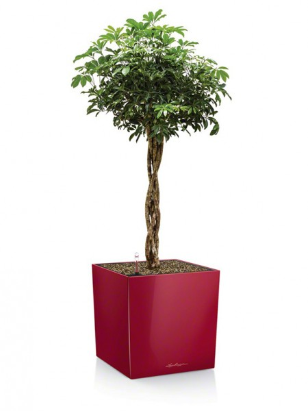 addi_cube_40_srot_schefflera_arboricola_590x786