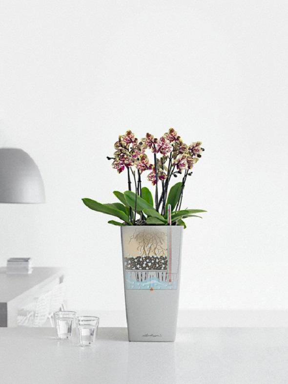 addi_cubico_22_silb_phalaenopsis_fkt_large