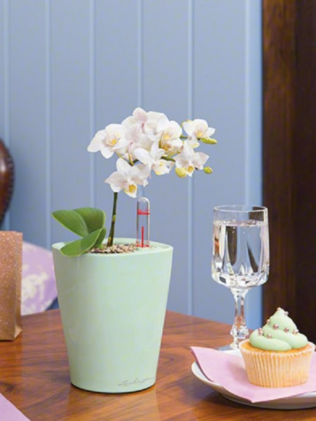 addi_mini_deltini_mint_phalaenopsis_large