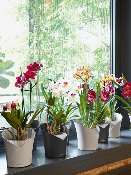 orchidea-baltas-vazonas1