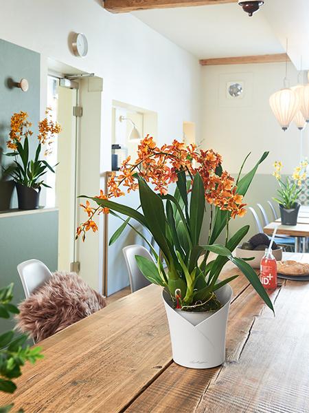 orchidea-vazonas